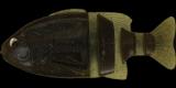 #S-430 GPギル・ブルーフレーク